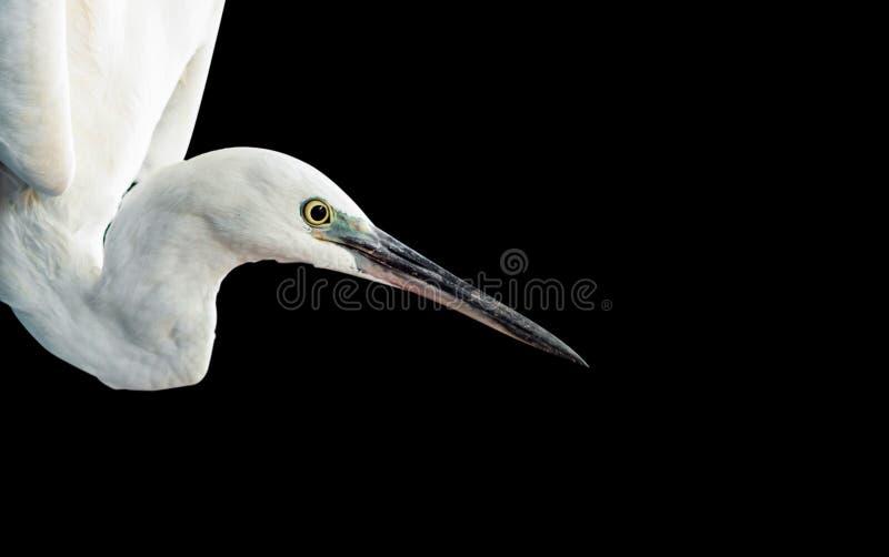Ritratto bianco dell'egretta fotografia stock