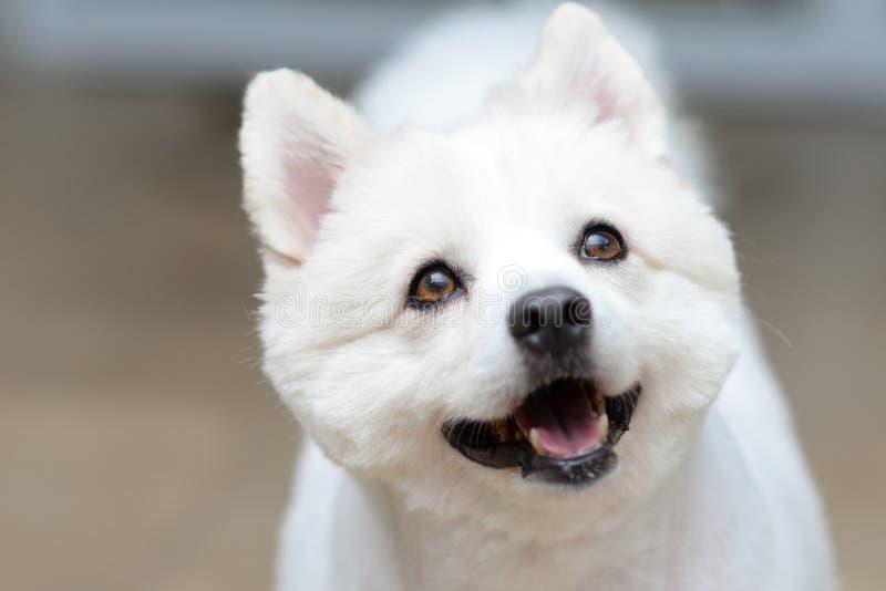 Ritratto bianco della testa di cane, piccolo spitz fotografie stock