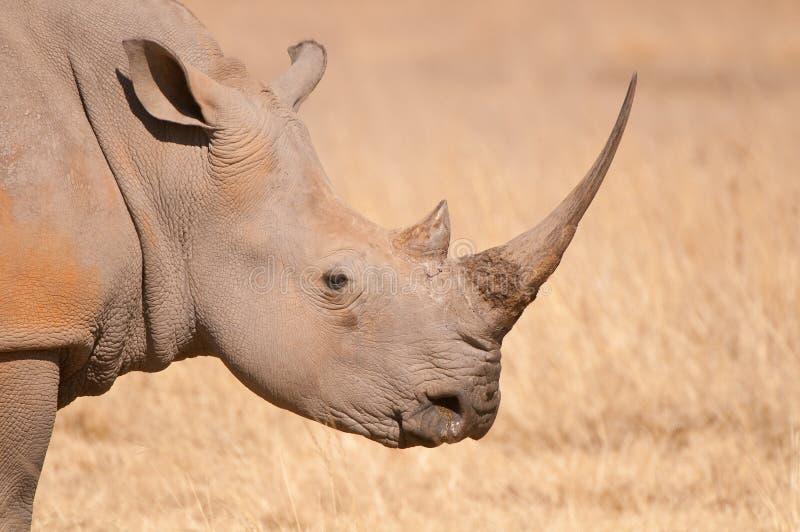 Ritratto bianco di rinoceronte fotografia stock