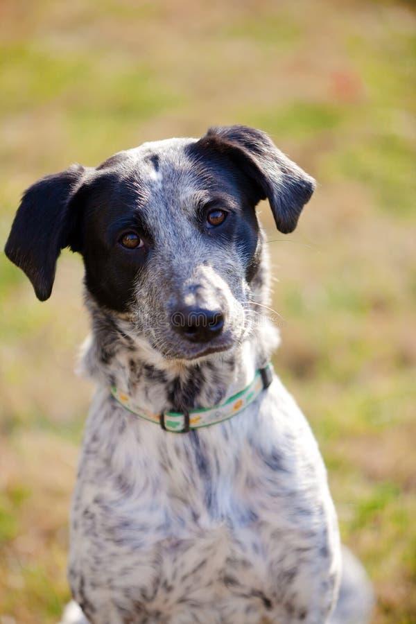 Ritratto in bianco e nero del cane della razza mista fotografie stock libere da diritti