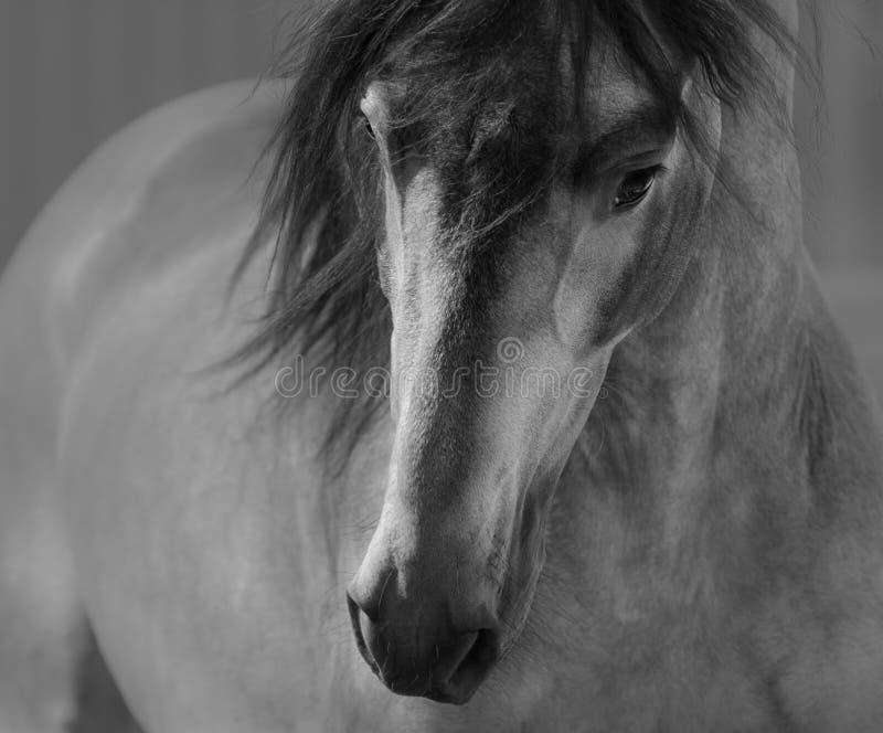 Ritratto in bianco e nero del cavallo andaluso nel moto immagini stock libere da diritti
