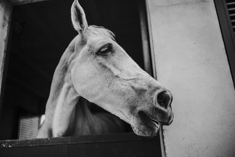 Ritratto in bianco e nero del cavallo bianco che mostra il fronte attraverso la porta stabile fotografia stock libera da diritti