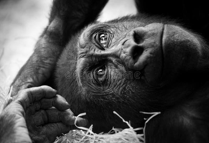 Ritratto in bianco e nero di giovane maschio della gorilla immagine stock