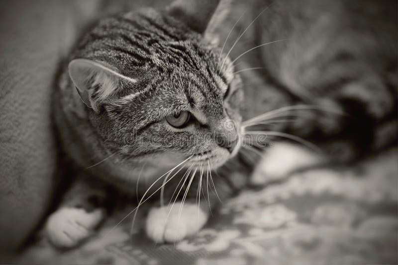 Ritratto in bianco e nero di un gatto a strisce arrabbiato immagini stock