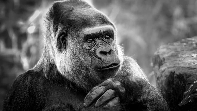 Ritratto in bianco e nero di una gorilla immagine stock