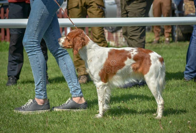 Ritratto bretone di Epagneul bello nel cercare cane bianco-rosso fotografia stock libera da diritti