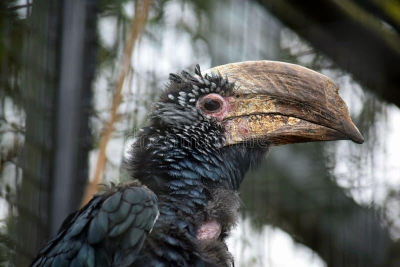 Ritratto brevis di Ceratogymna dell'uccello esotico immagine stock libera da diritti