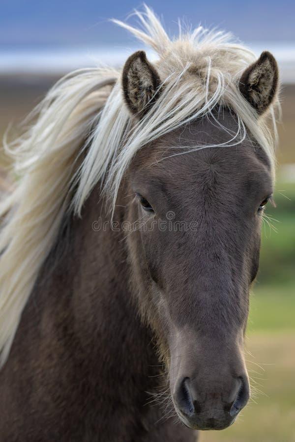 Ritratto capo del cavallo islandese colorato vindottir immagini stock libere da diritti