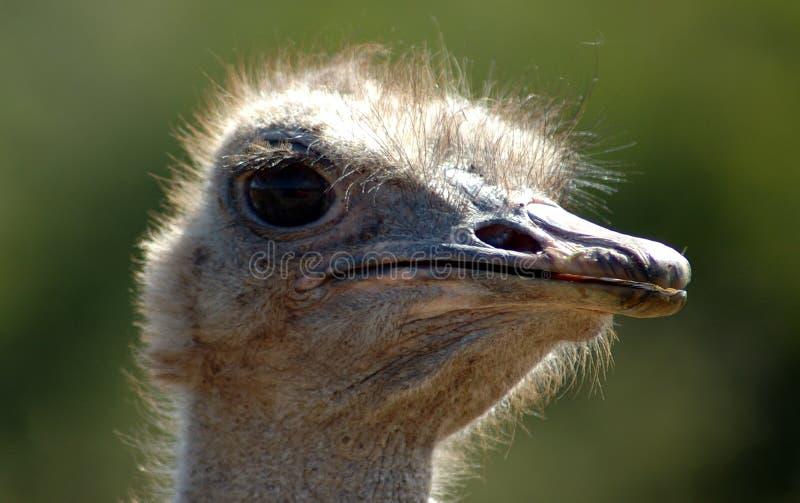 Ritratto capo dello struzzo fotografia stock libera da diritti