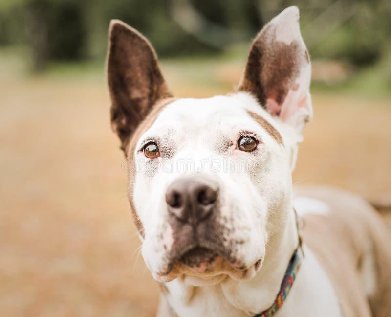 Ritratto capo di un bianco ed abbronzare il cane del pitbull fotografia stock libera da diritti