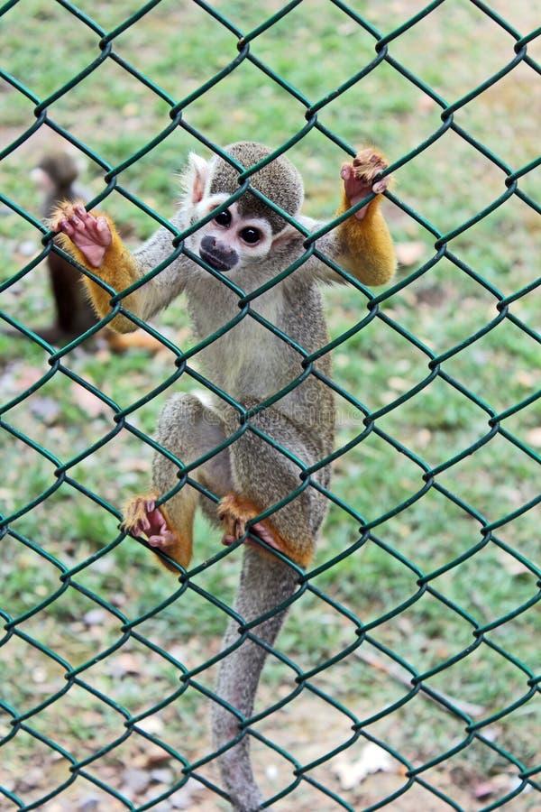 Ritratto completo del corpo di una scimmia di ragno curiosa nella cattività fotografie stock libere da diritti