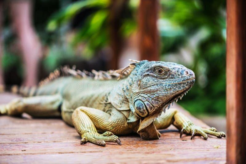 Ritratto con un'iguana immagini stock libere da diritti