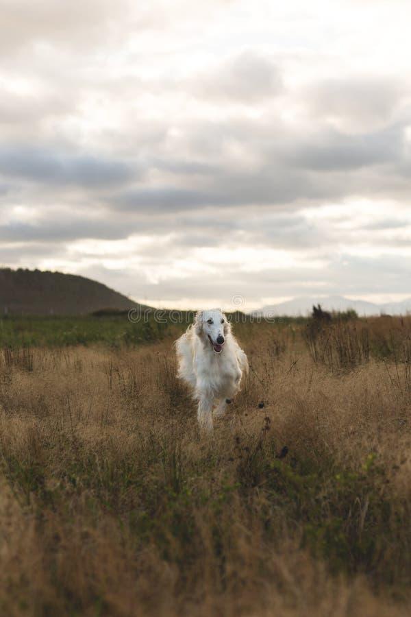 Ritratto dei borzoi beige divertenti e liberi del Russo della razza del cane che corrono nel campo al tramonto fotografia stock