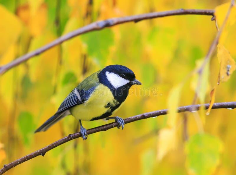 Ritratto dei capezzoli svegli degli uccelli sui precedenti di giallo luminoso l immagini stock libere da diritti