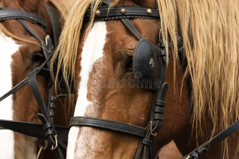 Ritratto dei cavalli con la fine dell'attrezzatura su immagine stock libera da diritti