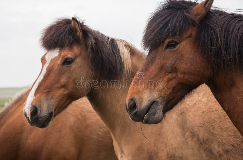 Ritratto dei cavalli rossi fotografie stock