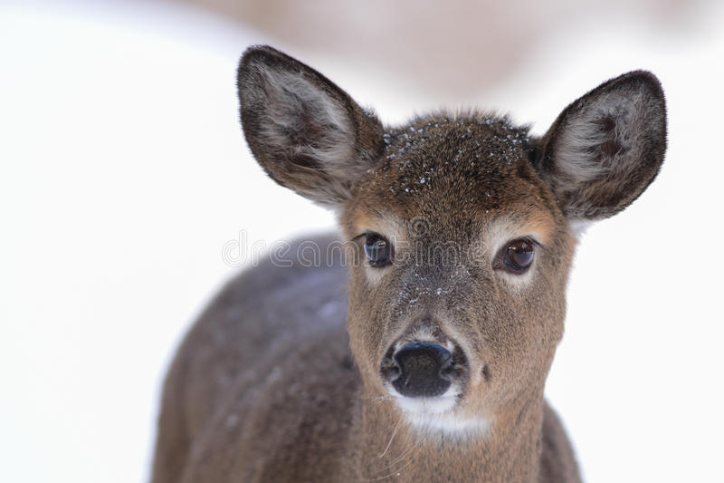 Ritratto dei cervi di Whitetail fotografia stock libera da diritti