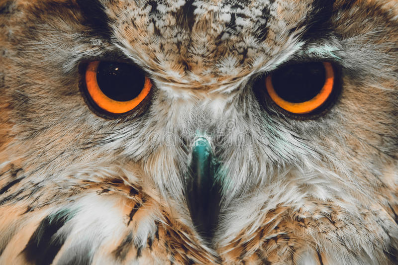 Ritratto dei gufi Owl Eyes fotografia stock