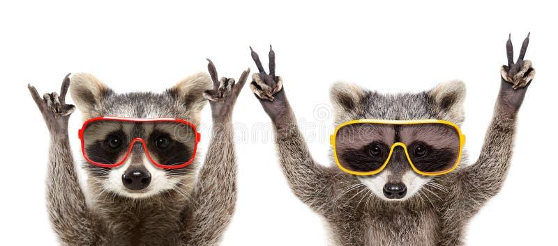 Ritratto dei procioni divertenti in occhiali da sole che mostrano un gesto fotografie stock libere da diritti