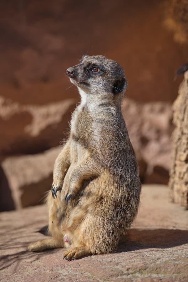 Ritratto dei suricates allegri e curiosi in una piccola località di soggiorno aperta immagine stock