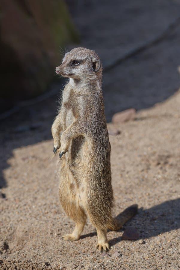 Ritratto dei suricates allegri e curiosi in una piccola località di soggiorno aperta immagini stock