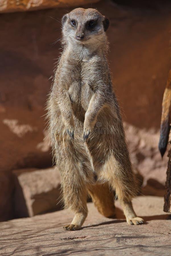 Ritratto dei suricates allegri e curiosi in una piccola località di soggiorno aperta fotografia stock libera da diritti