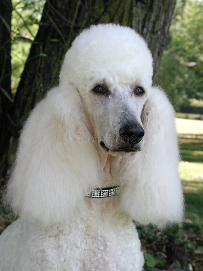 Download Ritratto Del Barboncino Standard Immagine Stock - Immagine di doggy, mammifero: 218857
