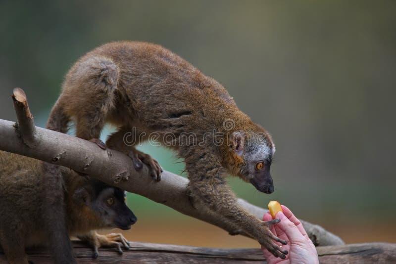 Ritratto del behavi fronteggiato rosso curioso e sveglio delle lemure del Madagascar fotografia stock libera da diritti