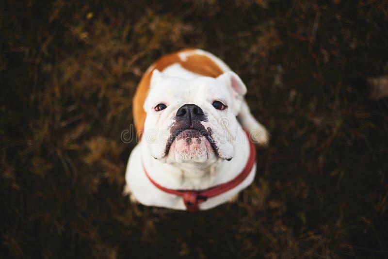 Ritratto del bulldog inglese femminile che si siede sulla terra immagini stock libere da diritti