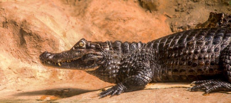 Ritratto del caimano fotografia stock