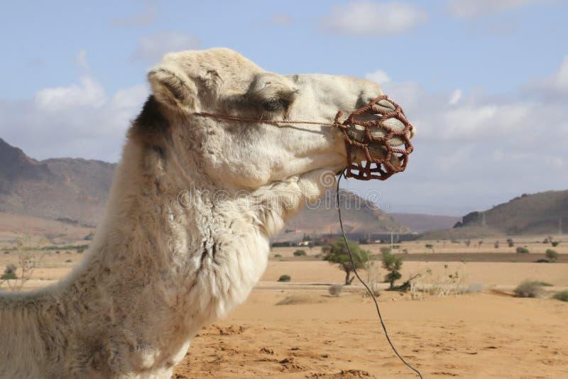 Ritratto del cammello nel Sahara, Marocco Africa immagini stock libere da diritti