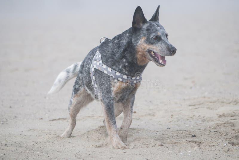 Ritratto del cane australiano del bestiame su una spiaggia sabbiosa immagini stock libere da diritti