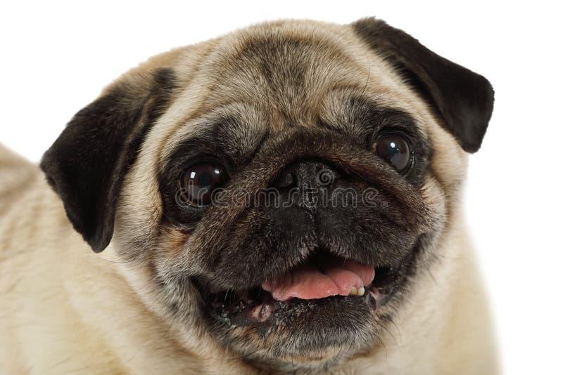 Ritratto del cane del carlino isolato su fondo bianco immagini stock libere da diritti