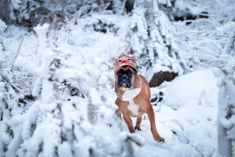 Ritratto del cane in costume dei cervi contro fondo degli alberi di Natale fotografia stock