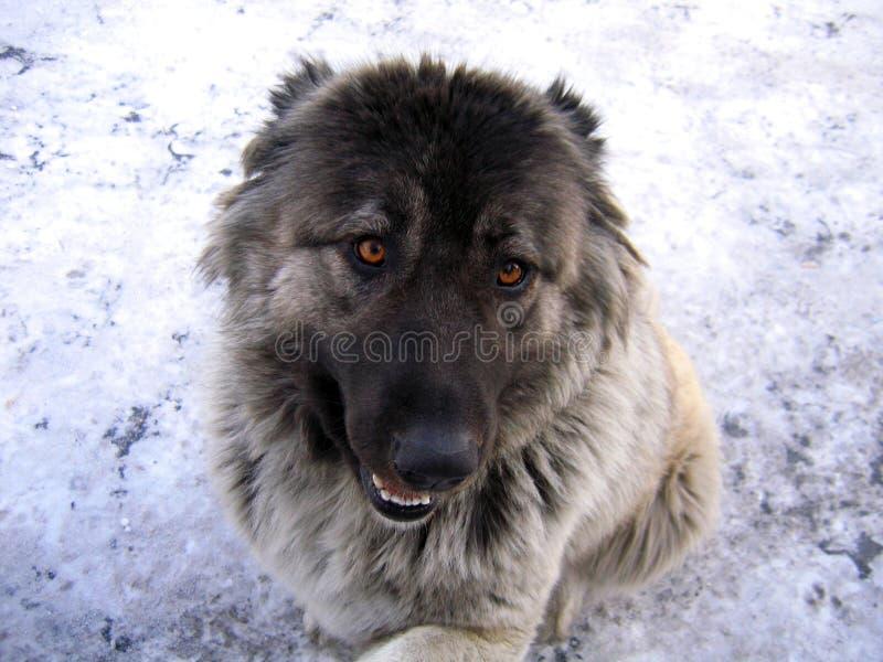 Ritratto del cane da pastore caucasico immagini stock