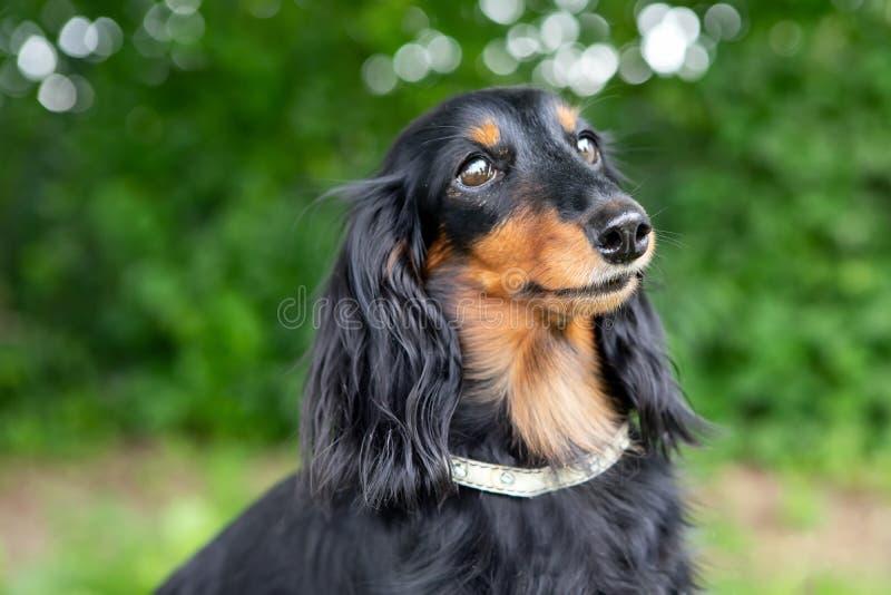 Ritratto del cane del Dachsund nella natura fotografia stock