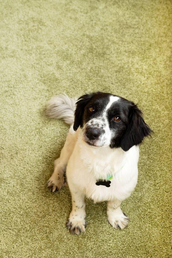 Ritratto del cane dai capelli lunghi in bianco e nero adorabile fotografie stock