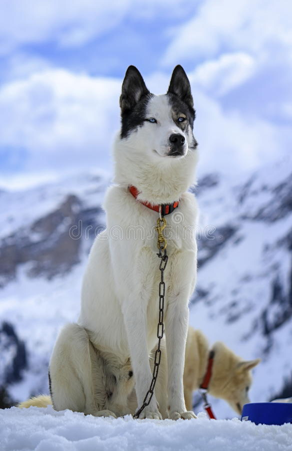 Ritratto del cane del husky fotografia stock immagine di - Husky con occhi diversi ...