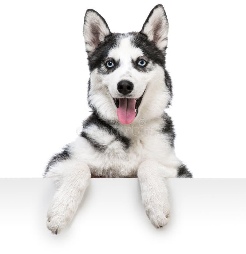 Ritratto del cane del husky sopra bianco immagini stock libere da diritti