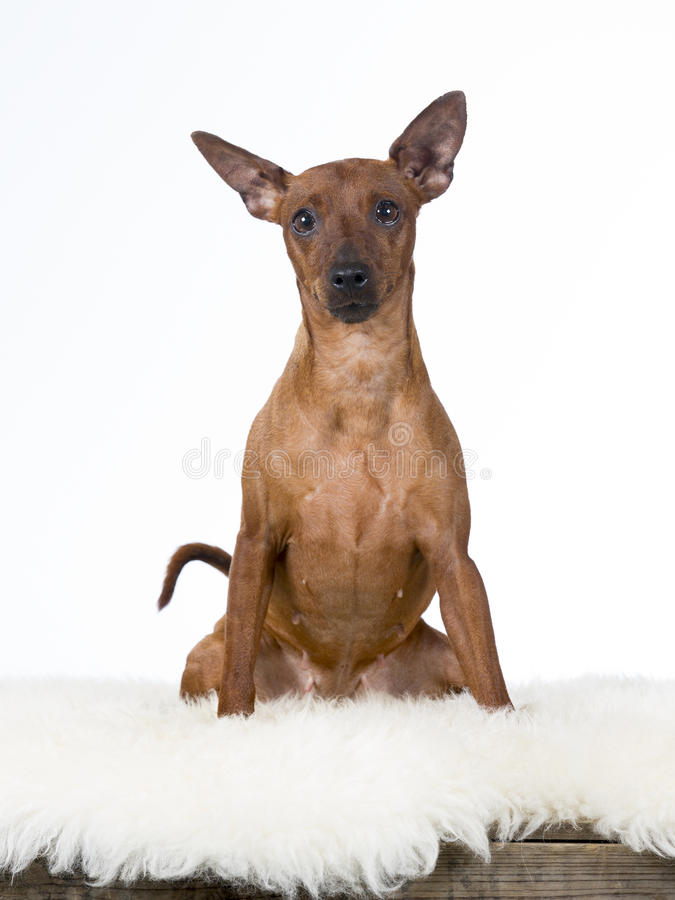 Ritratto del cane del pinscher miniatura immagine stock for Pinscher nero
