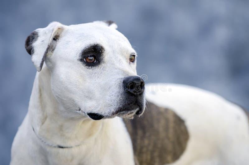 Ritratto del cane del pitbull terrier sul fondo blu della mussola immagini stock libere da diritti
