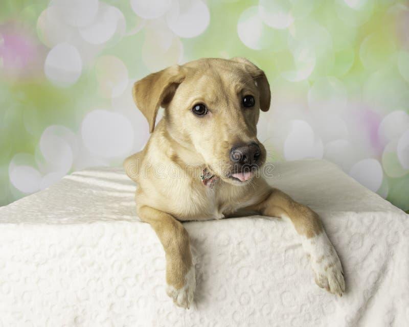 Ritratto del cane della miscela di Labrador con riposarsi variopinto del fondo fotografia stock