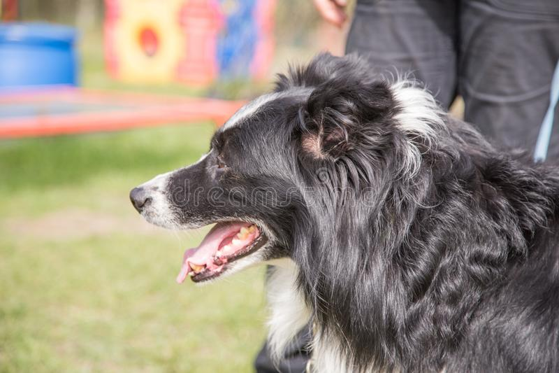 Ritratto del cane di border collie immagini stock libere da diritti