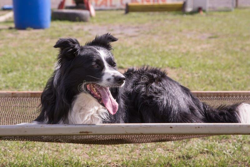 Ritratto del cane di border collie immagine stock