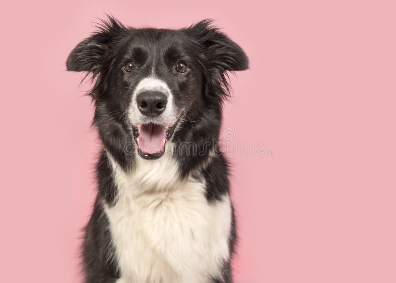 Ritratto del cane di border collie che esamina la macchina fotografica su un backg rosa immagine stock