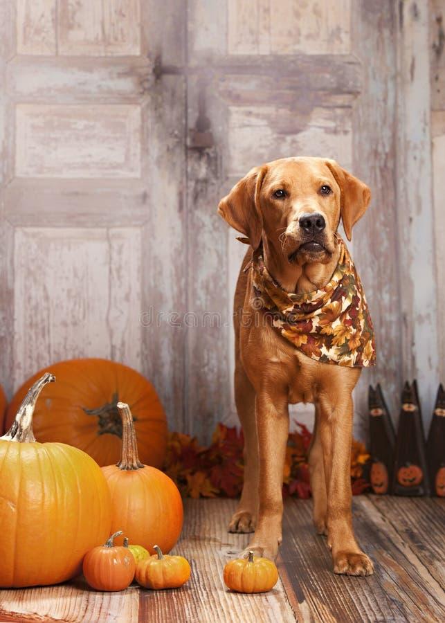 Ritratto del cane di caduta immagini stock libere da diritti