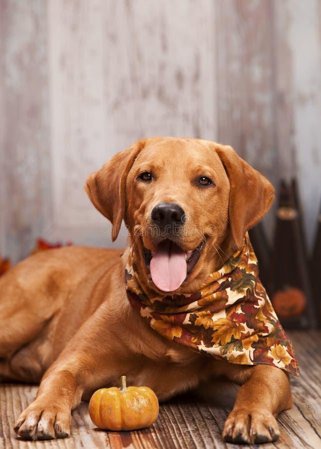 Ritratto del cane di caduta fotografie stock libere da diritti