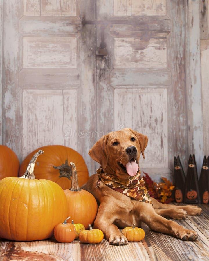 Ritratto del cane di caduta fotografia stock