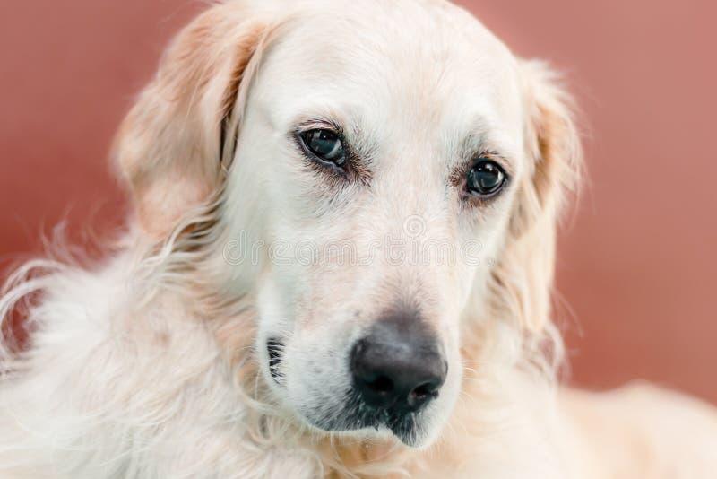 Ritratto del cane di golden retriever su fondo rossastro fotografia stock libera da diritti