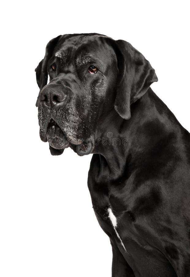 Ritratto del cane di great dane fotografia stock